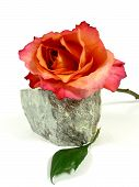 orange rose on a stone