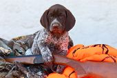 image of hunt-shotgun  - A handsome German Short Haired Pointer puppy sits with a shotgun and some hunting clothes just waiting for his next hunting adventure - JPG