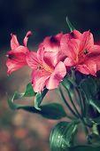 Постер, плакат: Pink Peruvian Lilies