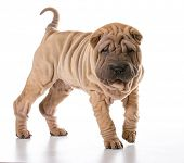 image of shar-pei puppy  - chinese shar pei standing isolated on white background - JPG