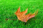 Single Dry Maple Leaf On Bright Grass