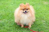 Cute Pet, Pomeranian Grooming Dog Sitting On Green Grass At Home Garden