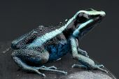 image of poison dart frogs  - The Striped giant dart frog is a large - JPG
