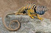 Collared lizard / Crotaphytus bicinctores