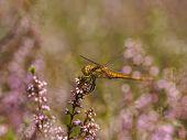 Dragonfly In Between Heath