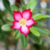 stock photo of desert-rose  - Adenium obesum Desert Rose Impala Lily Mock Azalea flower - JPG