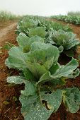 Plant Green Cabbage Fresh