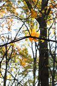 Falling Maple Leaf On Twig In Autumn