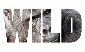 picture of face-fungus  - Word WILD Face portrait of a gorilla male - JPG