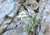 foto of edelweiss  - Edelweiss (Leontopodium alpinum) in natural environment in summer