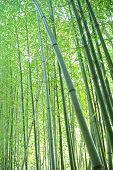 Toned picture of green bamboo trees