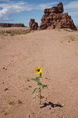 Wildflower In Utah Desert