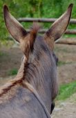 image of horses ass  - Grey Donkey photographed from behind his head