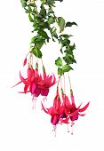 Red Fuchsia Flower Blossoming On White