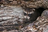 Baby Raccoon (procyon Lotor) Peers Out From Inside Log