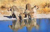Lions drinking from a waterhole