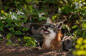 Grey Fox Vixen (urocyon Cinereoargenteus) Looks Up With Kit