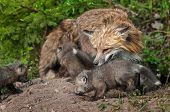 Red Fox Vixen (vulpes Vulpes) And Kits Inspect Densite