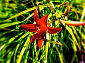 foto of day-lilies  - Red day lily with green leaves in flowerbed. ** Note: Shallow depth of field - JPG