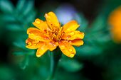 San Diego Flower, Ranunculus Bullatus, With Water Drops
