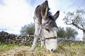 picture of jackass  - Funny small spanish grey donkey grazing on the grass - JPG