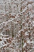 stock photo of bohemia  - young beeches sprinkled with snow South Bohemia Czech Republic - JPG