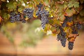 stock photo of grape-vine  - Lush Ripe Wine Grapes on the Vine Ready for Harvest - JPG