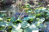 picture of alligators  - Alligator in the water in Everglades Florida - JPG