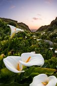 image of calla  - beautiful landscape in the California coast with a river of calla lilies showing the way to the setting sun - JPG