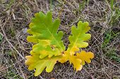 stock photo of dry grass  - ?olored oak leaves close-up on the dry grass. Autumn painting. - JPG