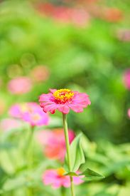 stock photo of zinnias  - Abstract Blurred Zinnia flower, Zinnia flower in motion blur