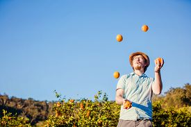 picture of juggling  - Cheerful young man juggling oranges on citrus farm on sunny summer day - JPG