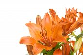 Flowers orange tiger lily
