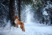 Dog Outdoors In Christmas Trees, Winter Mood poster
