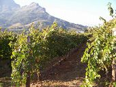 Close Up Rows Of Vines And Mountains