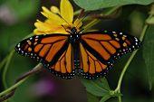 Monarch Open Wings24