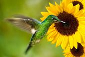 hummingbird feeding from sunflower