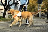stock photo of seeing eye dog  - Dog helping blind person to walk - JPG