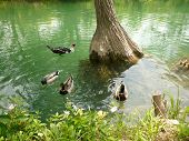 Ducks Circling A Tree