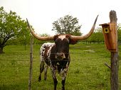 Standing Longhorn