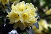 Yellow Rhody