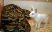 a Reticulated Python eyes an albino bunny for lunch