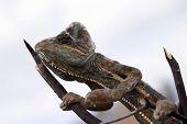 a vieled chameleon