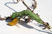 a Tomato Horn Worm Caterpillar, (Manduca quinquemaculata) dines on one of my Yellow Plum Tomatoes