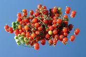 Fresco escolheu tomates cereja do meu jardim em um espelho com um fundo de céu azul