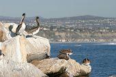 Постер, плакат: «Калифорния коричневые пеликаны» «Pelecanus Западная» загара себя на скалах на пристани в южной части
