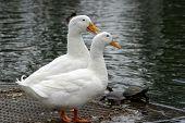 Two white ducks aka