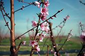 Peach or nectarine trees in bloom with on a farm with beautiful pink flowers in spring