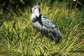 ein Schuhschnabel Storch