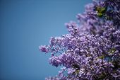 a beautiful jacaranda tree with its purple flowers against a blue sky